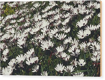A Field Of Prolofic White Daisy Flowers Wood Print by Jason Edwards