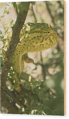 A Flap-necked Chameleon Well Wood Print by Jason Edwards