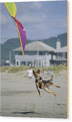 A German Shepherd Leaps For A Kite Wood Print by Phil Schermeister