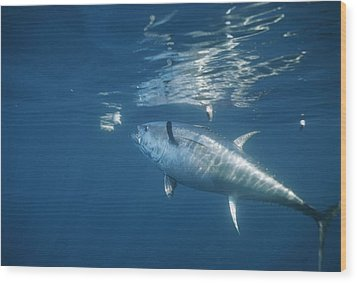 A Giant Bluefin Tuna Feeds Wood Print by Brian J. Skerry