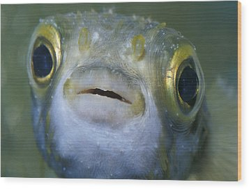 A Globe Fish Also Known As A Puffer Wood Print by Jason Edwards