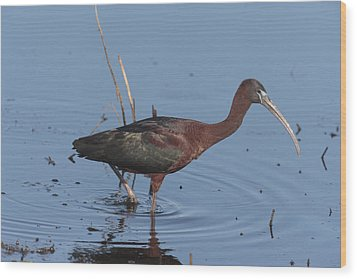 A Glossy Ibis Wades For Food In A Salt Wood Print by George Grall