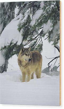 A Gray Wolf Stands Under Wood Print by Norbert Rosing