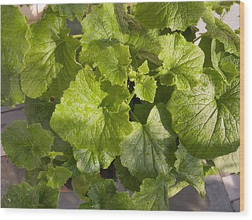 A Green Leafy Vegetable Plant After Watering In Bright Sunrise Wood Print by Ashish Agarwal