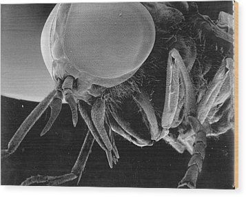 A Greenhead Fly Tabanus Nigrovittatus Wood Print by Darlyne A. Murawski