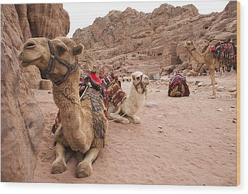 A Group Of Camels Sit Patiently Wood Print by Taylor S. Kennedy