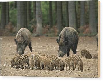 A Group Of Young Wild Boars Nose Wood Print by Norbert Rosing