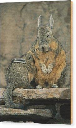 A Herbivorous Viscacha Nurses Her Baby Wood Print by Joel Sartore