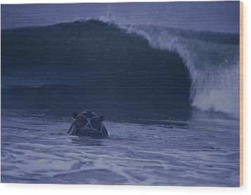 A Hippopotamus Surfs The Waves Wood Print by Michael Nichols