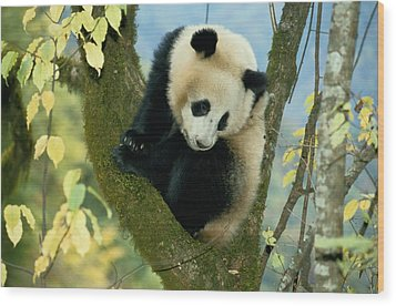 A Juvenile Giant Panda Wood Print by Lu Zhi