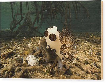 A Large Nudibranch Feeds On A Sponge Wood Print by Tim Laman