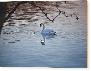 A Lonely Swans Late Afternoon Wood Print by Karol Livote