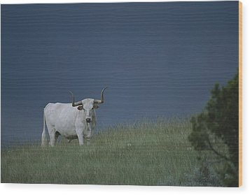 A Longhorn Steer, One Member Of A Small Wood Print by Michael Melford