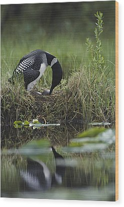 A Loon Raises Itself To Turn Its Eggs Wood Print by Michael S. Quinton