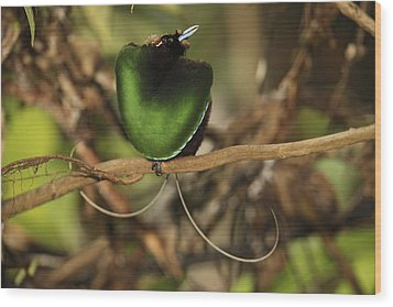 A Magnificent Bird Of Paradise Male Wood Print by Tim Laman