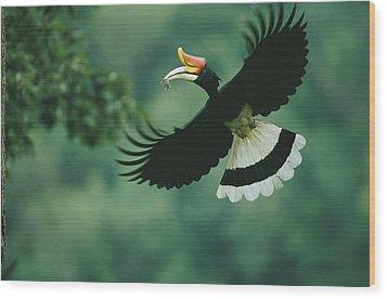 A Male Rhinoceros Hornbill Delivers Wood Print by Tim Laman