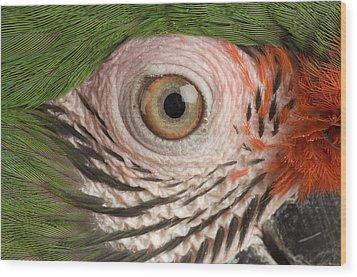 A Military Macaw Ara Ambiguus Wood Print by Joel Sartore
