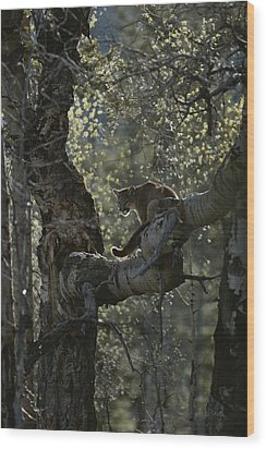 A Mountain Lion, Felis Concolor, Climbs Wood Print by Jim And Jamie Dutcher