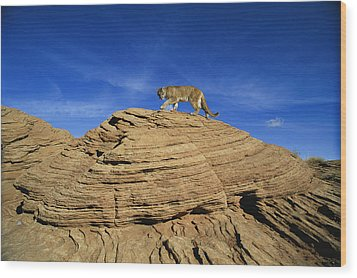 A Mountain Lions Walks Across This Wood Print by Norbert Rosing