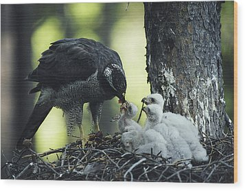 A Northern Goshawk Feeds Its Scrawny Wood Print by Michael S. Quinton