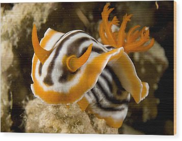 A Nudibranch Crawls Over The Reef Wood Print by Tim Laman