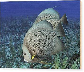 A Pair Of Gray Angelfish On A Caribbean Wood Print by Karen Doody