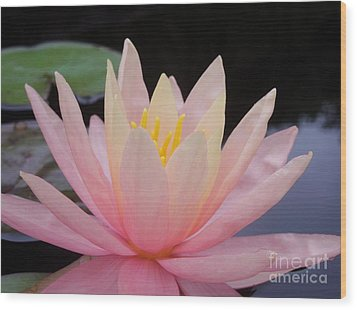 A Pink Water Lily Wood Print