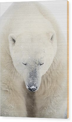 A Polar Bear Ursus Maritimus Resting Wood Print by Richard Wear