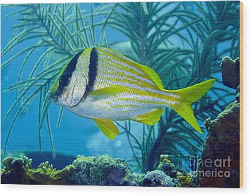 A Porkfish Swims By Sea Plumes Wood Print by Terry Moore