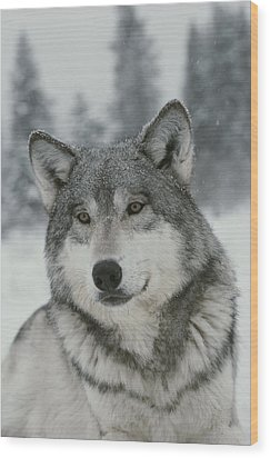 A Portrait Of A Beautiful Gray Wolf Wood Print by Jim And Jamie Dutcher