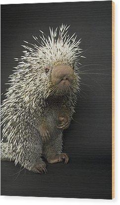 A Prehensile-tailed Porcupine Coendou Wood Print by Joel Sartore