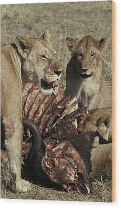 A Pride Of African Lions Feed Wood Print by Jason Edwards