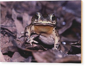 A Rain Forest Toad Of The Family Wood Print by Mattias Klum