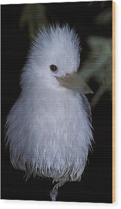 A Rare Albino Kookaburra With White Wood Print by Jason Edwards