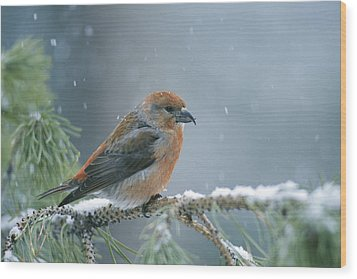A Red Crossbill Loxia Curvirostra Wood Print by Michael S. Quinton