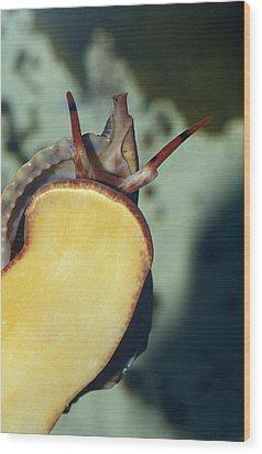 A Red Lip Triton Snail Charonia Wood Print by Jason Edwards