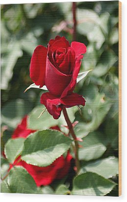 A Red Red Rose Wood Print by Paula Tohline Calhoun