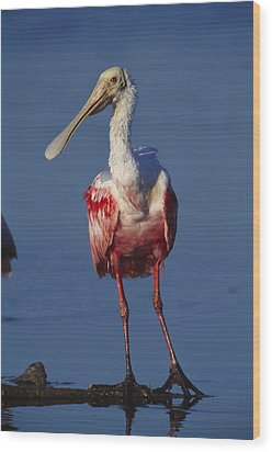 A Roseate Spoonbill Wades The Mud Wood Print by Klaus Nigge