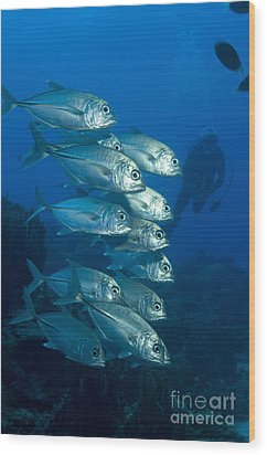 A School Of Bigeye Trevally, Papua New Wood Print by Steve Jones