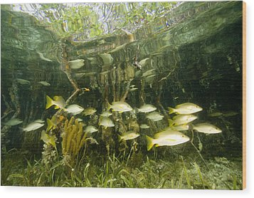 A School Of Snappers Shelters Among Wood Print by Tim Laman