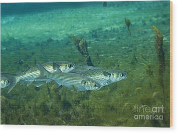 A School Of Striped Mullet Wim Wood Print by Michael Wood