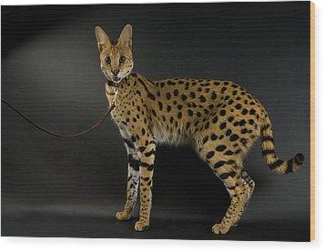 A Serval Leptailurus Serval Wood Print by Joel Sartore