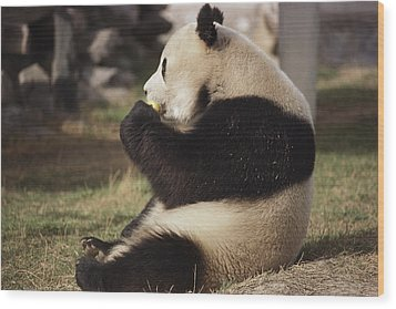 A Side View Of A Panda Bear Sitting Wood Print by Todd Gipstein