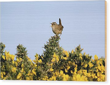 A Singing Wren Wood Print by Duncan Shaw