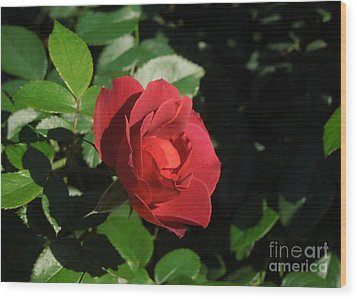 A Single Burgundy Rose Wood Print by Chad and Stacey Hall