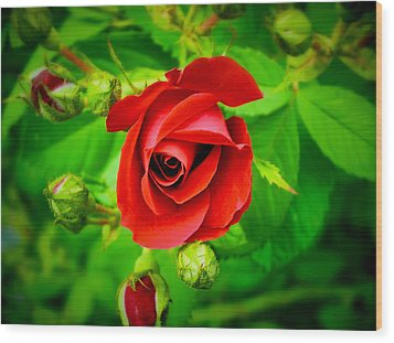A Single Red Rose Blooming Wood Print by Chantal PhotoPix
