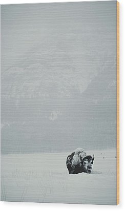 A Snow-covered American Bison Stands Wood Print by Michael S. Quinton