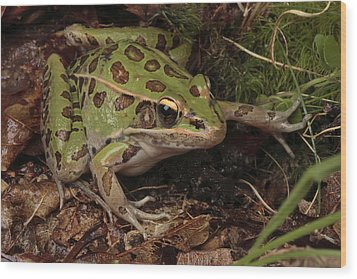 A Southern Leopard Frog Pauses In Leaf Wood Print by George Grall