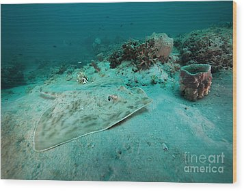 A Southern Stingray On The Sandy Bottom Wood Print by Michael Wood
