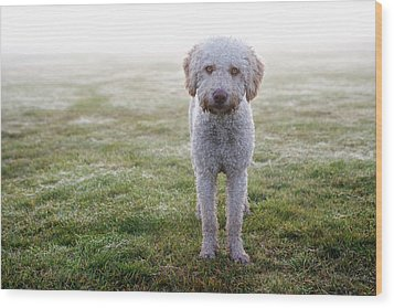 A Spanish Water Dog Standing A Field Wood Print by Julia Christe